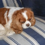 Cavalier Rose, a puppy mill rescue