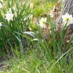 How would we manage without daffodils?