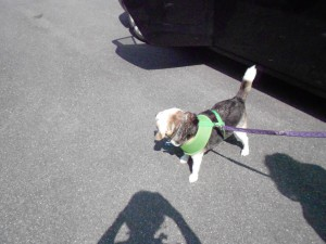 Buddy, a fantastic senior beagle rescue!!