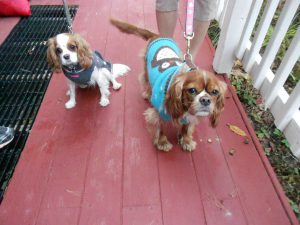 Cavaliers Honey & Rueben visit Cav Cottage!