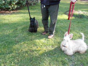 Alexander & Pete, Scottish Terrier duo extraordinaire!