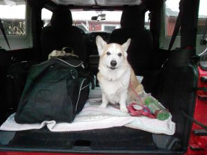Sweet senior corgi Ollie