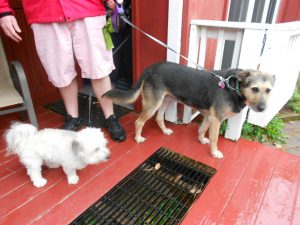 Rasta & Ellie, 2 lucky rescues visited from NH!