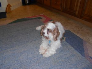 Rose, a wonderful Lucky Star Cavalier rescue!
