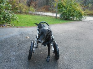 Schlomo-splendid 3-legged rescue in his new front wheel cart!