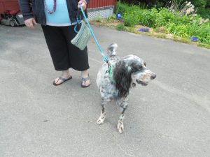Handsome Blue - a 10 year old rescue English Setter...