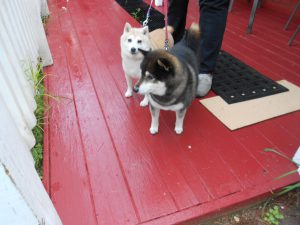 Shibas - Kyli, puppy mill rescue and Kenji - lovely mates!