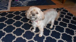 Sweet and lovely Lily spent 3 weeks at the cottage as her caregivers moved from AZ to W.MA.